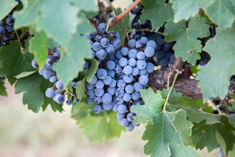 Carlson Creek vineyard Arizona