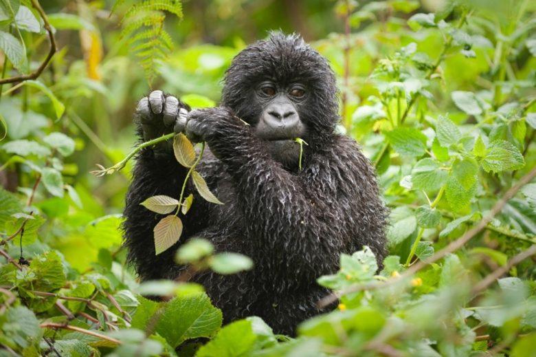 Rwanda Uganda Safari Monkey