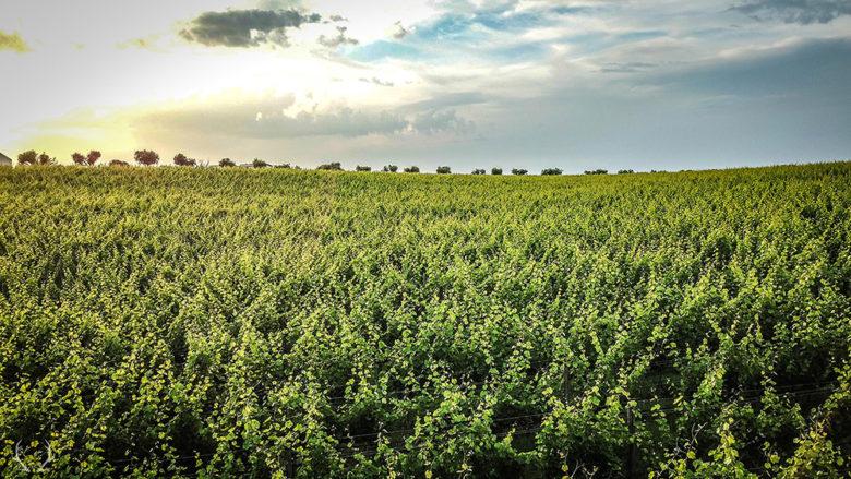 Terroir for Dry Farm Wines