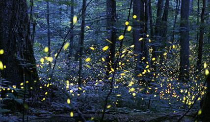 Synchronized fireflies Smoky Mountains bucket list