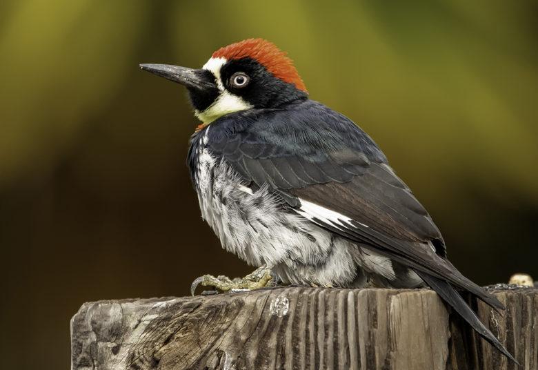 Acorn Woodpecker birding in California