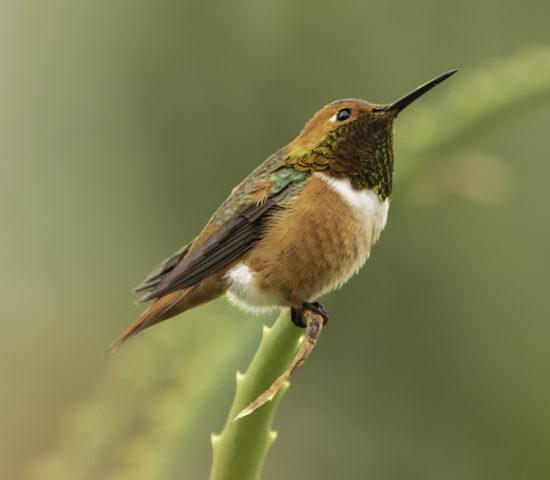 Allen's Hummingbird birding in Southern California