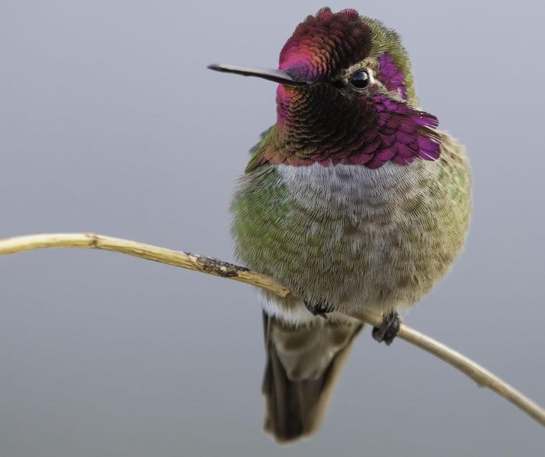 Anna's Hummingbird birdwatching in Southern CA