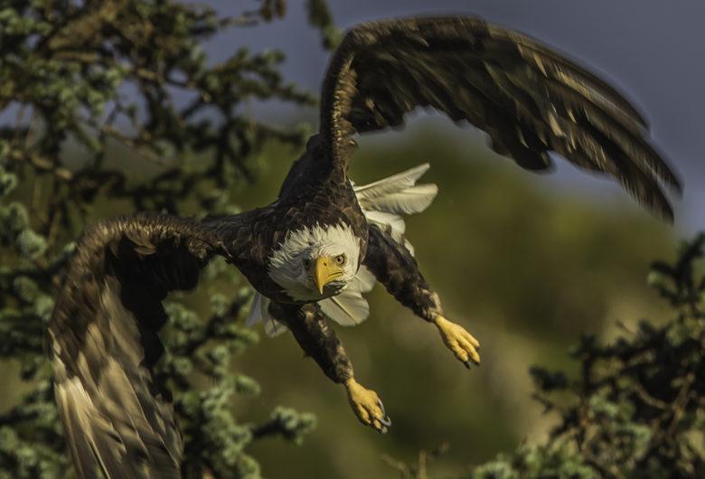 Bald Eagle bird watching in Alaska