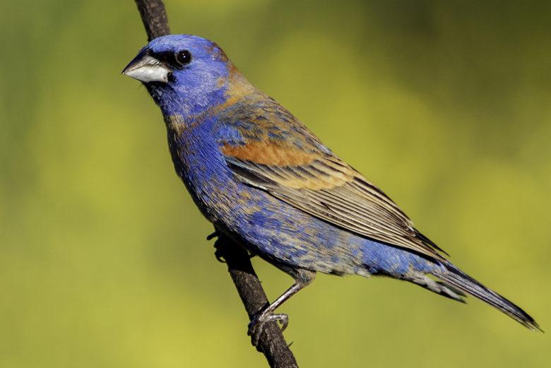 Blue Grosbeak birding in So Cal