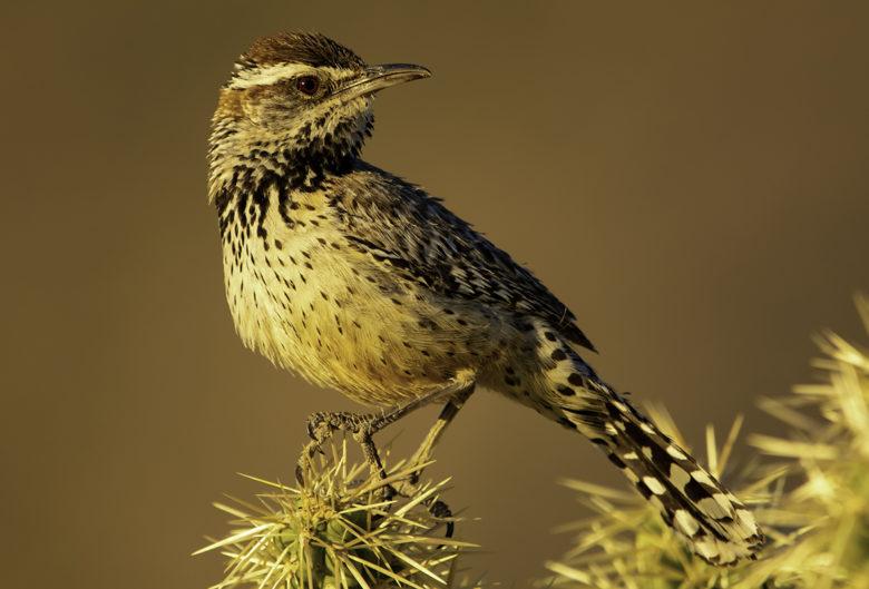 Cactus Wren birding in SE Arizona