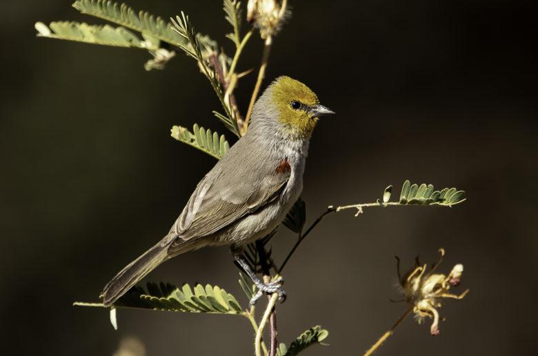 Verdin bird watching in SE Arizona