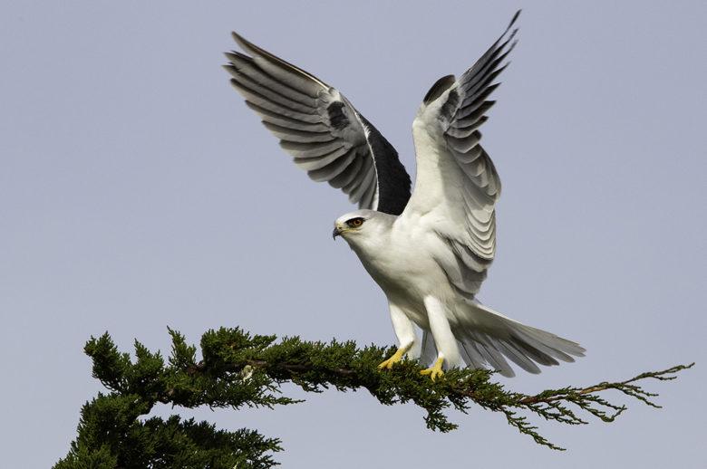 White Tailed Kite bird watching in California